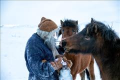Horses of Iceland and Christmas