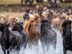 May 1 – Day of the Icelandic horse