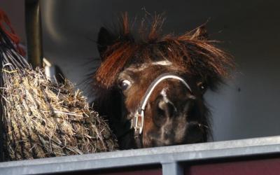 Little Viking Horse