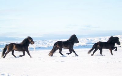 Horses of Iceland project extended!