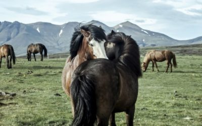 International Day of the Icelandic Horse