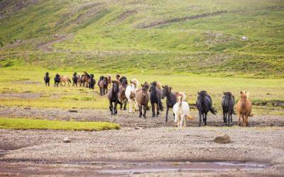 Icelandic horse breeding presentations in Swedish