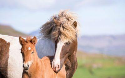 Online presentation series on Icelandic horse breeding